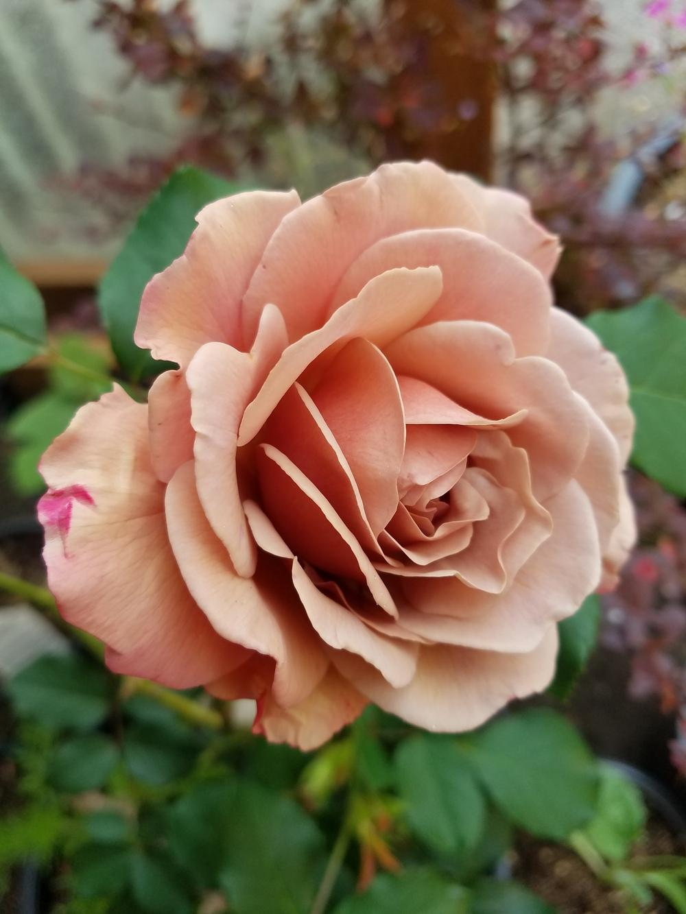Photo of Rose (Rosa 'Koko Loco') uploaded by Aazhie