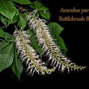 Location: Botanical Gardens of the State of Georgia...Athens, GaDate: 2019-06-02Aesculus parviflora - Bottlebrush Buckeye 002 text