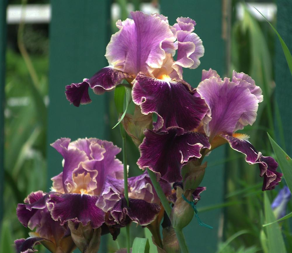 Photo of Tall Bearded Iris (Iris 'Dialect') uploaded by LynNY
