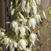 Location: Northern California, Zone 9bDate: 2019-06-06Yucca filamentosa 'Golden Sword' closeup of flowers & b