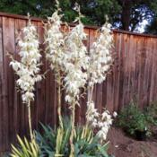 Location: Northern California, Zone 9bDate: 2019-06-07Yucca filamentosa 'Golden Sword'