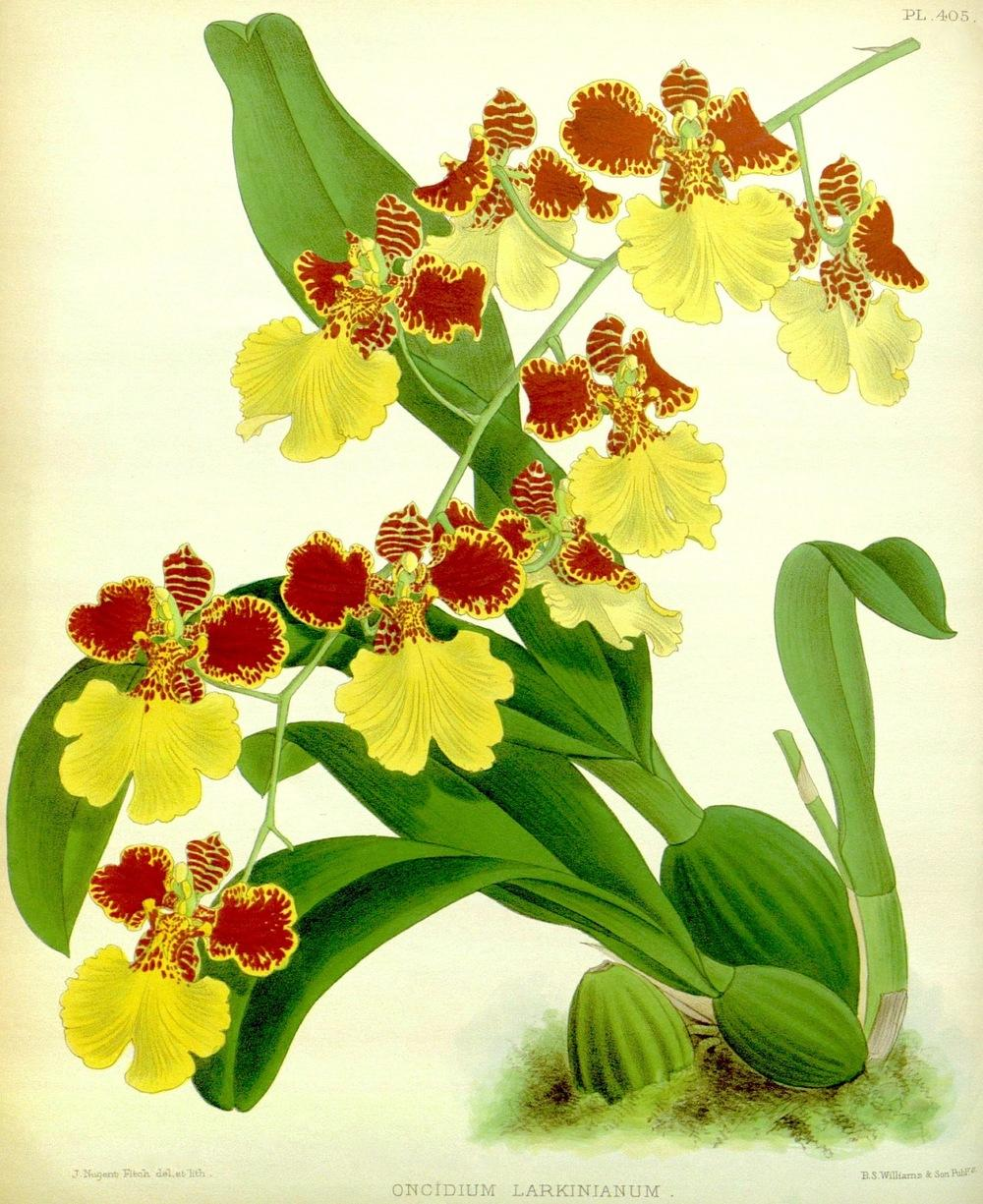 Photo of Orchid (Gomesa gardneri) uploaded by scvirginia