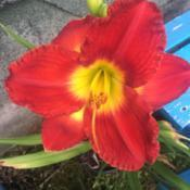 Location: My flower gardenDate: 2019-06-08Passion for Red, very large red bloom