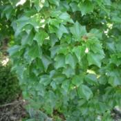 Location: St LouisDate: 2009-05-29Much smaller plant than species with congested foliage
