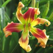 Location: My 6b gardenDate: 2019-06-10New for 2019, from Northern Lights Daylilies.