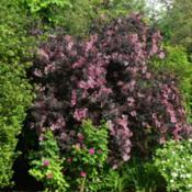 Location: Oxfordshire, EnglandDate: 2019-06-07whole shrub in bloom