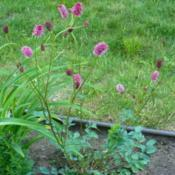 Location: Nora's Garden - Castlegar, B.C.Date: 2015-06-04- A decorative and useful garden plant.