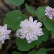 Location: St LouisDate: 2009-04-24Very faint pinkish hue to the blooms