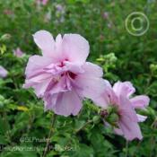 Rose Of Sharon Hibiscus Syriacus Ardens In The Roses Of Sharon