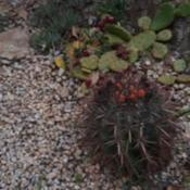 Date: 2019-04-22Noid hooked ferocactus /w red spines. marimurta b.g. sp