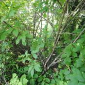 Location: Downingtown, PennsylvaniaDate: 2019-06-16looking inside shrubs at stems