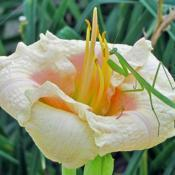 Location: My GardensSeedling Daylily #pollination