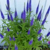 Location: My garden, Eagle Point, OregonDate: 2019-06-15My very favorite Veronica