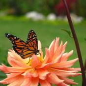 Location: central IllinoisDate: 2008-09-11#pollination Monarch