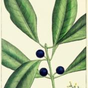 Location: Although the book is called 'The North American Sylva', some non-native trees are includedDate: c. 1865illustration by H. J. Redouté from Michaux's 'The North American