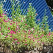 Location: Landenberg, PADate: 2019-06-11large planted patch hanging over a wall