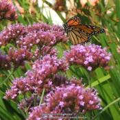 Location: My garden in Northern KYDate: 2006-07-07#pollination