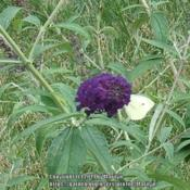 Location: My garden in KentuckyDate: 2007-07-28#pollination