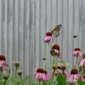 Location: central IllinoisDate: 2009-07-05#pollination    (bee in flight, Monarch thereon)