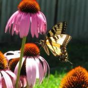 Location: central IllinoisDate: 2008-07-12#pollination
