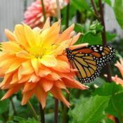 Location: central IllinoisDate: 2008-09-11#pollination