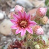 Location: South Jordan, Utah, United StatesDate: 2019-06-20Purchased as Sempervivum x barbulatum 'Hookeri'.