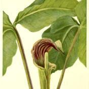 Date: c. 1925illustration from Walcott's 'North American Wild Flowers', 1925