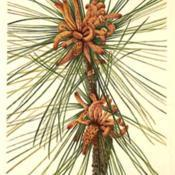 Date: c. 1925illustration from Walcott's 'North American Wild Flower