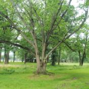 Location: Downingtown, PennsylvaniaDate: 2019-06-16mature tree in shady park