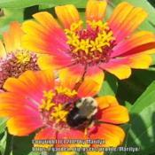 Location: My garden in Northern KYDate: 2007-08-12#pollination