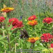 Location: My garden in Northern KYDate: 2007-08-29#pollination