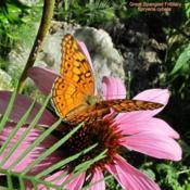 Location: central IllinoisDate: 2017-09-02#pollination    Great Speckled Fritillary