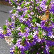 Location: central IllinoisDate: 2017-09-05#pollination   Painted Ladies