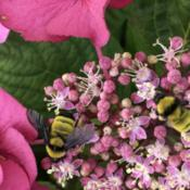 Location: San ClementeDate: 2019-06-23Happy Bumblebees with Hydrangea Cherry Explosion