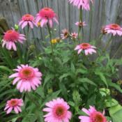 Location: Shamong, NJDate: 2019-06-24Beautiful color coneflower