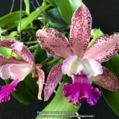 Myc. Memoria Louise Fuchs 'Roy Finley' X C. Mark Jones