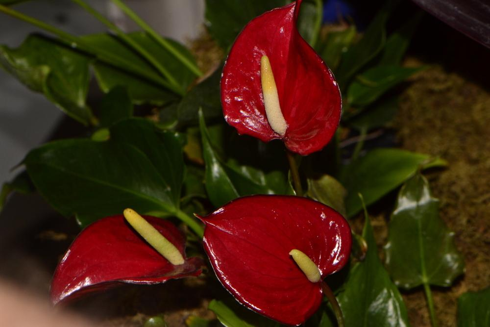 Photo of Anthuriums (Anthurium) uploaded by dawiz1753