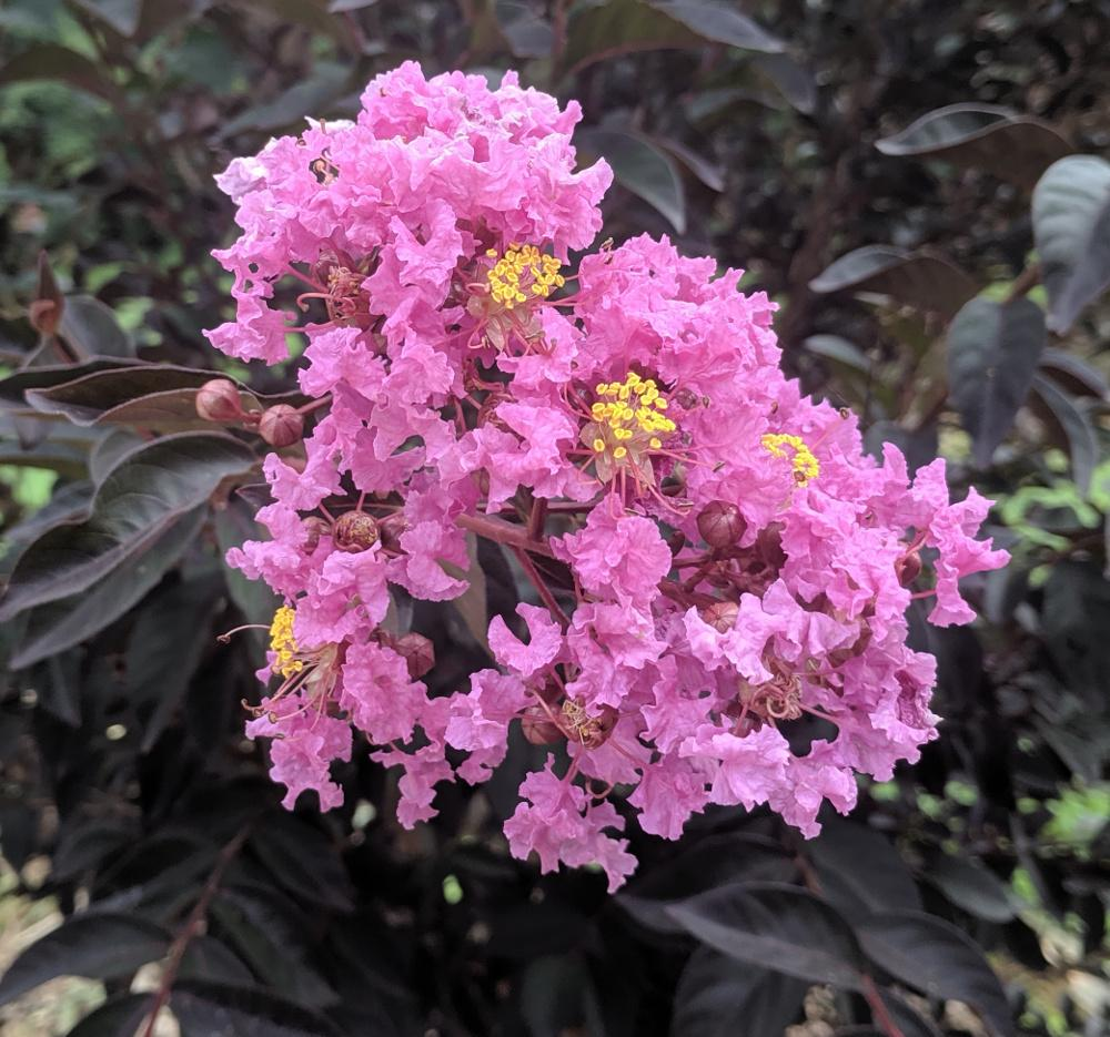 Photo of Crepe Myrtle (Lagerstroemia Black Diamond® Purely Purple™) uploaded by dave