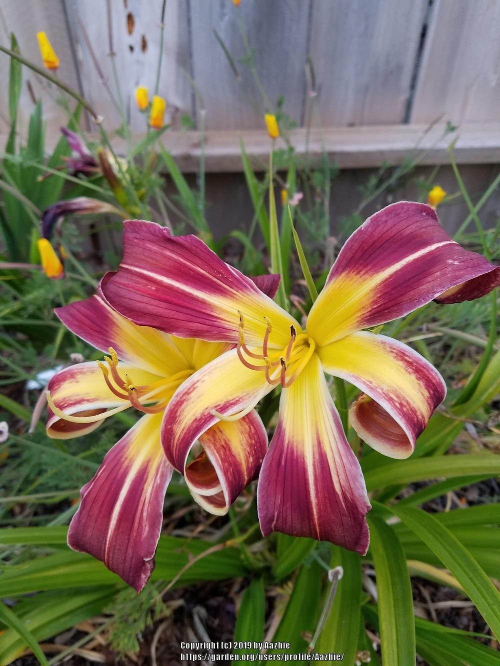 Photo of Daylily (Hemerocallis 'Helix') uploaded by Aazhie