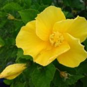 Location: Gulf CoastDate: 2019-06-27Yellow Hibiscus, beautiful blooms!