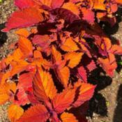 Location: My garden, central NJ, Zone 7ADate: 2019-06-22Aptly named, foliage really is on fire.  Outstanding.