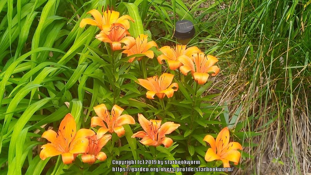 Lilies Forum Multiple Lily Types Blossoming Garden Org