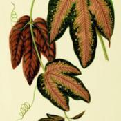 Date: c. 1870illustration from Hibberd's 'New and Rare Beautiful-leaved Plants