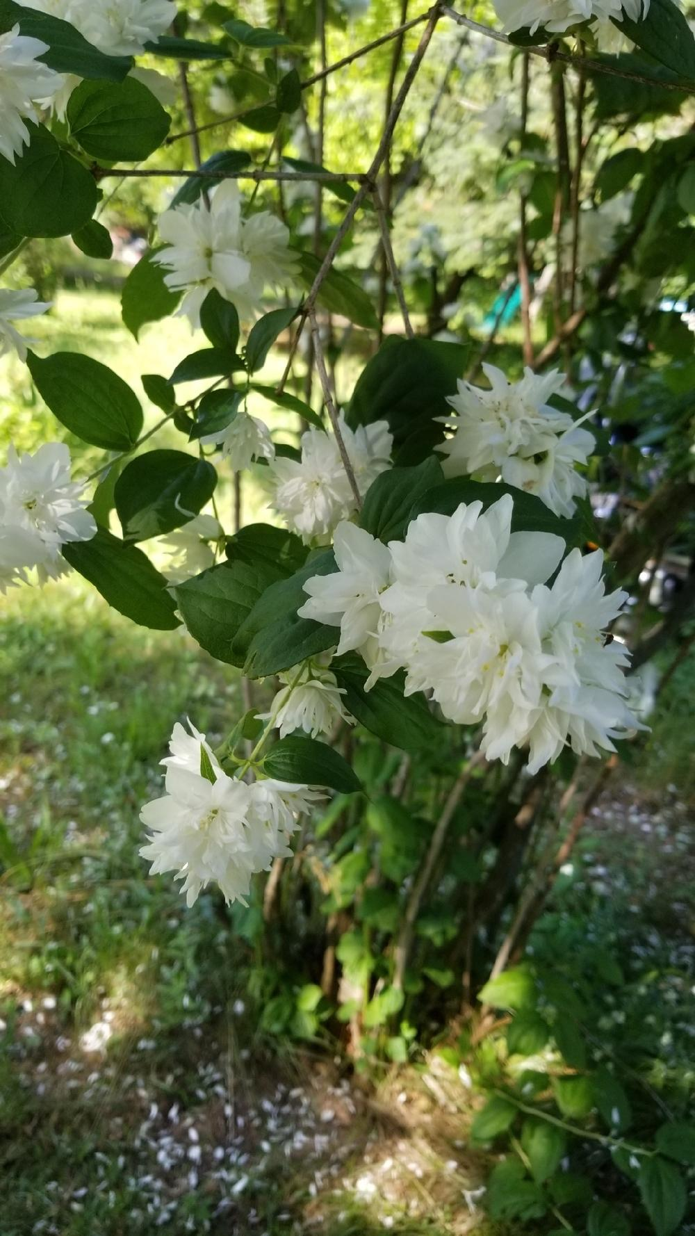 Plant Id Forum Tall Woody Bush With Fragrant White Flowers