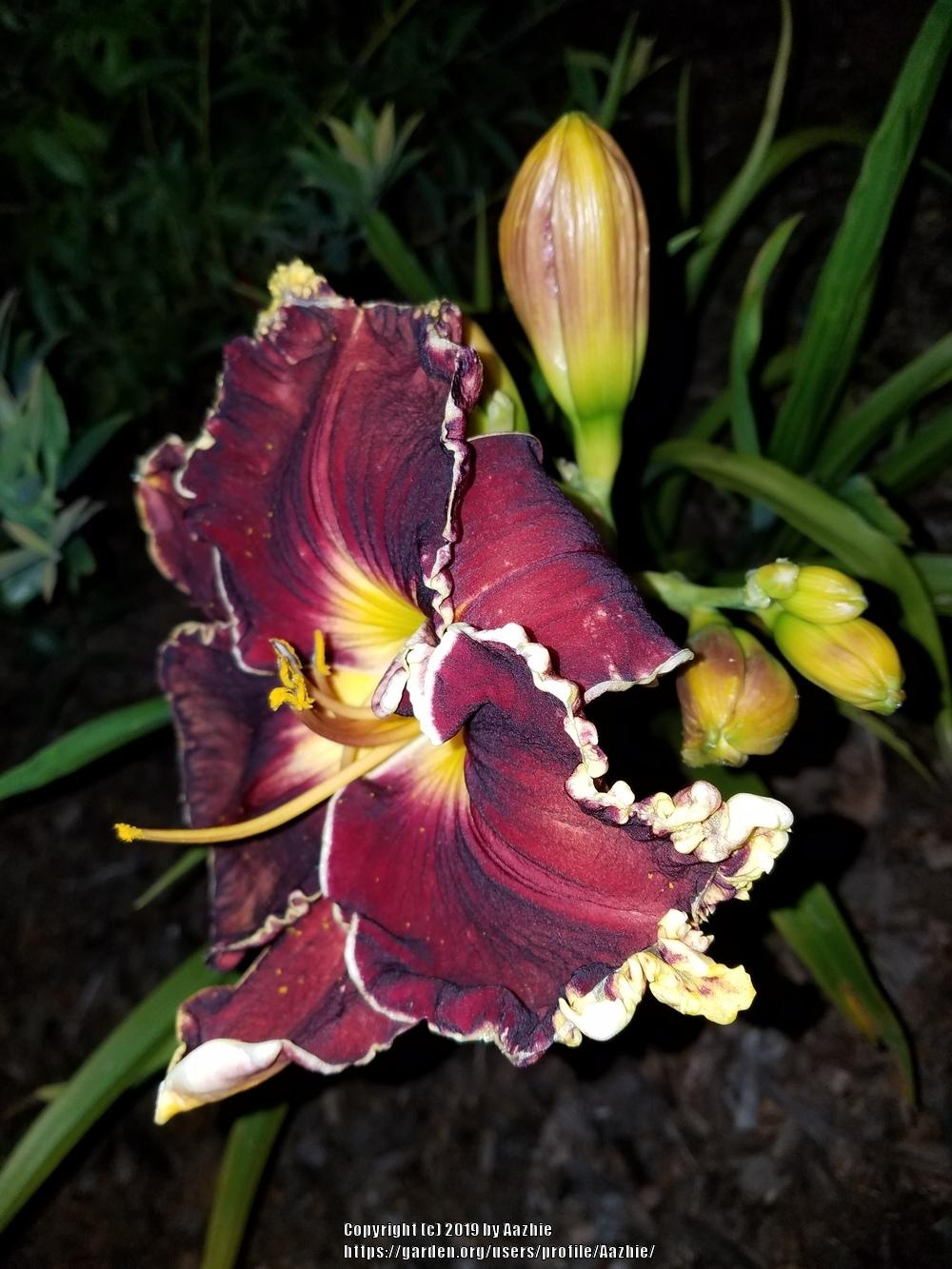 Photo of Daylily (Hemerocallis 'Blessings Beyond Measure') uploaded by Aazhie