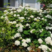 Location: Newtown Square, PennsylvaniaDate: 2011-06-24some plants in front yard in bloom