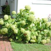 Location: Downingtown, PennsylvaniaDate: 2011-08-16flowers have turned green in August