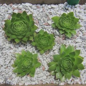 Individual rosettes separated readily from a tight clump of 5 ros
