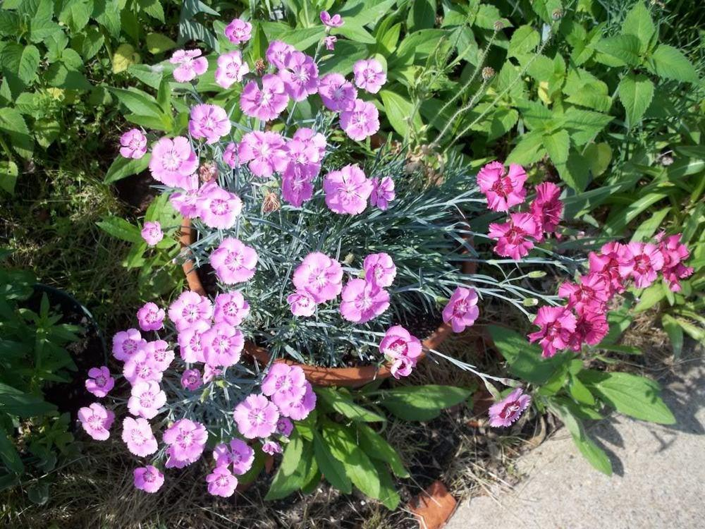 Photo of Dianthus uploaded by ShawnSteve