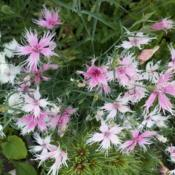 Date: 2014-05-27Better example, of Dianthus  'Laced Perfume', sowing, f
